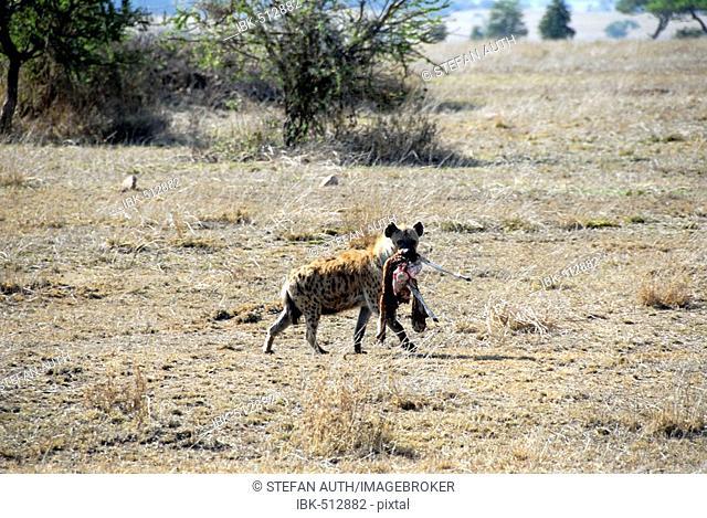 Spotted Hyena (Crocuta crocuta) carries prey in its mouth Serengeti National Park Tanzania