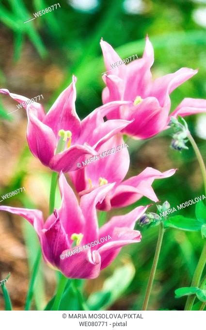 A Group of Pink Lily Flowering Tulips. Tulipa hybrid. April 2007. Maryland, USA