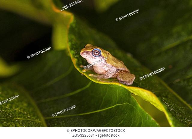 Yellow bush frog, Raorchestes luteolus, Coorg, Karnataka, India