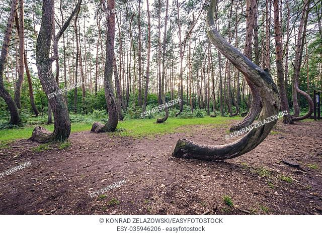 So called Crooked Forest (Polish: Krzywy Las) with oddly-shaped pine trees near Nowe Czarnowo small village in West Pomerania Voivodeship of Poland