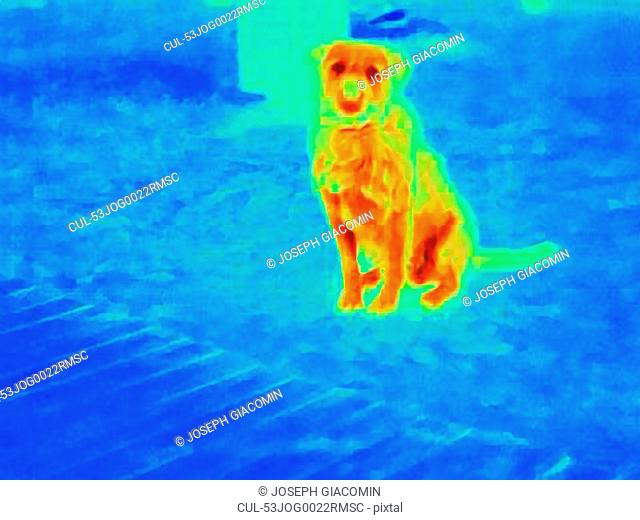 Thermal image of dog outdoors