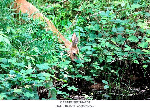 Capreolus capreolus, local animals, endemic animals, spring, nature, cloven-hoofed animal, roe deer, roe deer in the forest pond, roe deer, narrow roe deer