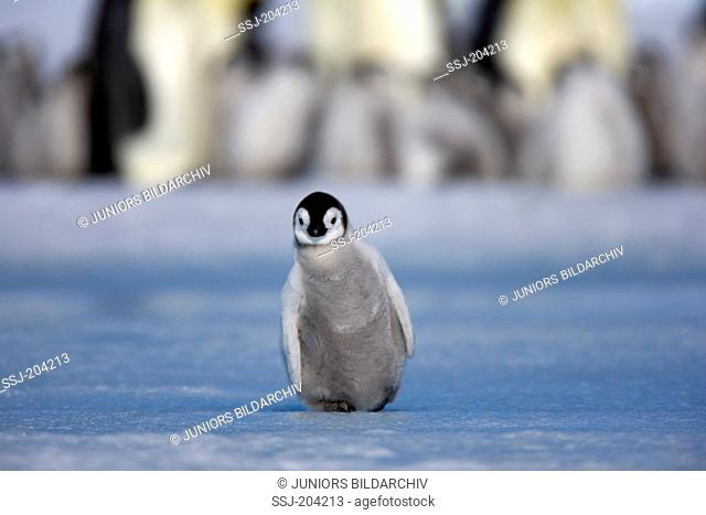 Emperor Penguin (Aptenodytes forsteri). Single chick standing on ice. Snow Hill Island, Antarctica