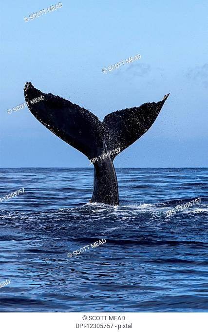 Tail of a Humpback whale (Megaptera novaeangliae) out of the water; Hawaii, United States of America