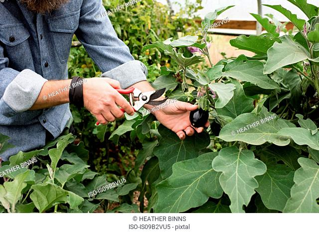 Man's hand harvesting baby eggplants in organic farm poly tunnel