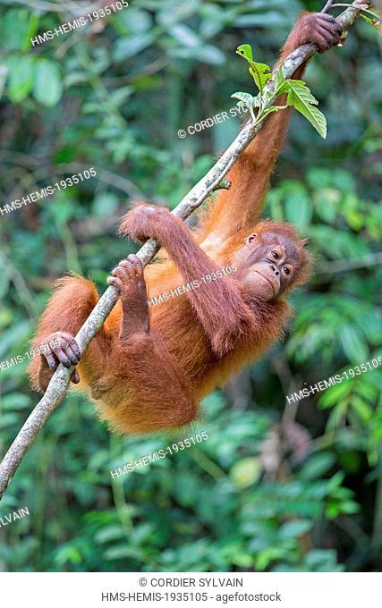 Malaysia, Sarawak state, Kuching, Semenggoh Wildlife Rehabilitation Center, Bornean orangutan (Pongo pygmaeus pygmaeus), young
