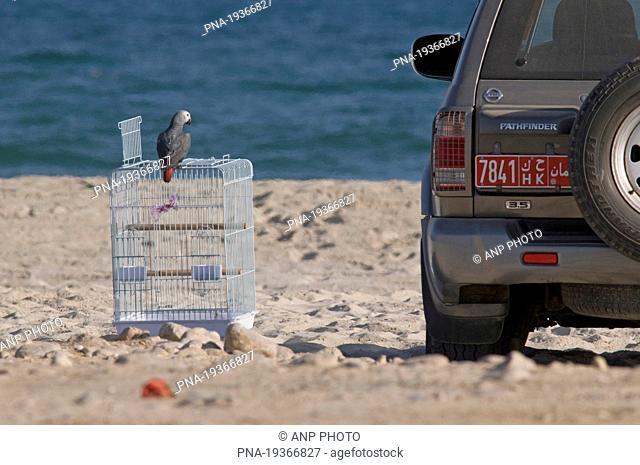 Grey Parrot Psittacus erithacus - Salalah, Dhofar, Oman, Asia