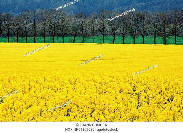 Oilseed rape crop in a field, Bohemia, Czech Republic