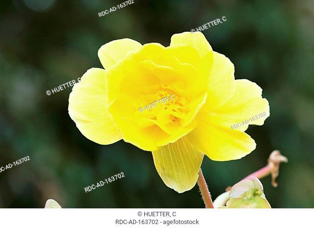 Begonia Begonia tuberhybrida hybride Begoniaceae