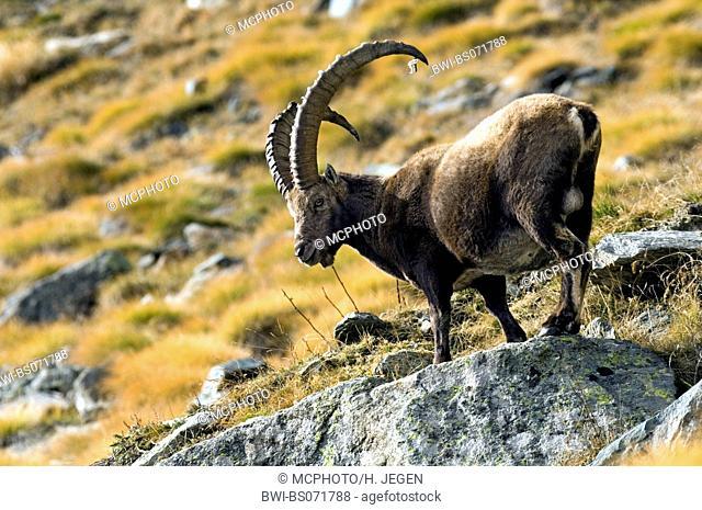 alpine ibex (Capra ibex, Capra ibex ibex), buck standing at a bluff, Switzerland, Schweizer Alpen