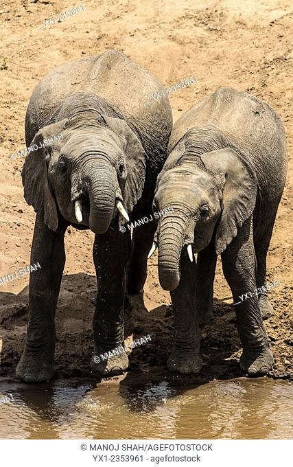 African Elephants drinking from the river