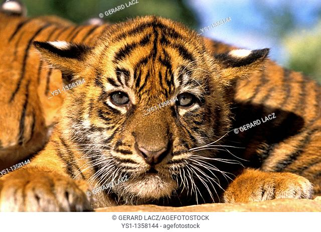 SUMATRAN TIGER panthera tigris sumatrae, PORTRAIT OF CUB