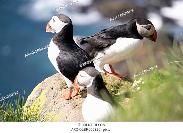 Close-up Of Three Puffins On The Cliffs At Latrabjarg, Iceland