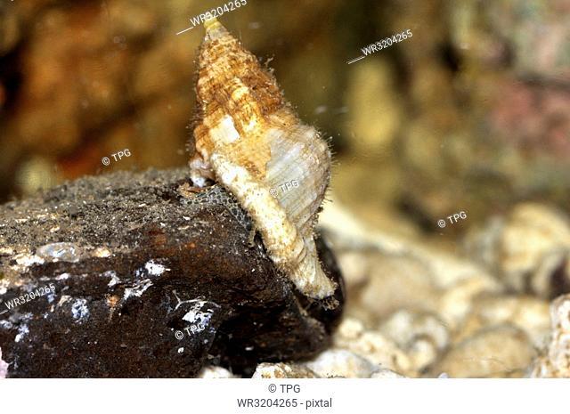 Cymatium mundum