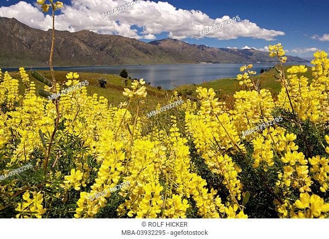 New Zealand, South-island, Central Otago, lake Hawea, yellow lupines, Lupinus luteus, bloom, detail, landscape, nature vegetation, botany, plants, flowers