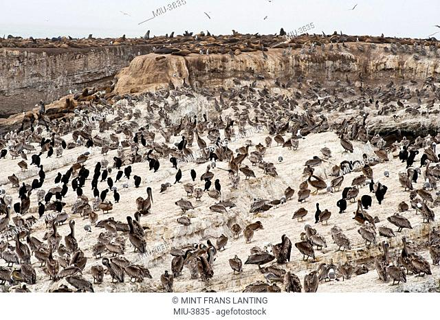 Brown pelicans, Pelecanus occidentalis, Brandt's cormorants, Phalacrocorax penicillatus and California sealions, Zalophus californianus, Ano Nuevo Island