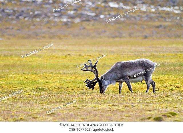 Adult Svalbard reindeer Rangifer tarandus platyrhynchus grazing on tundra in the Svalbard Archipelago, Norway