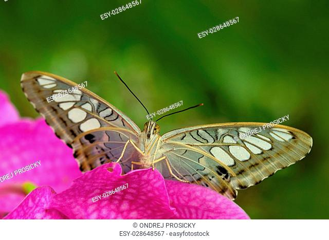 Beautiful butterfly, Clipper, Parthenos sylvia