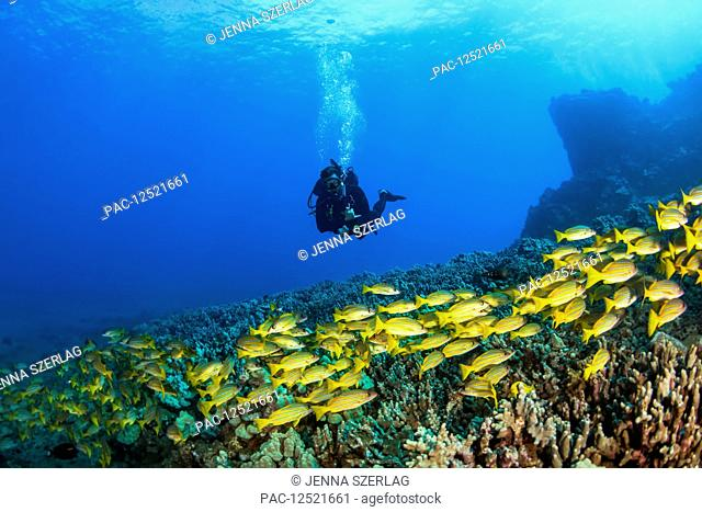 Scuba diver with a large school of Bluestripe Snappers (Lutjanus kasmira) swimming over healthy reef; Lanai City, Lanai, Hawaii, United States of America