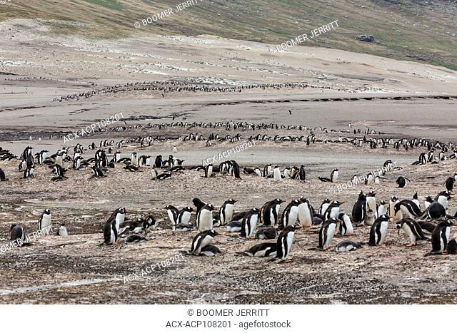 Adult and baby Gentoo Penguins share common ground on the sandy beaches of Saunders Island. falkland Islands