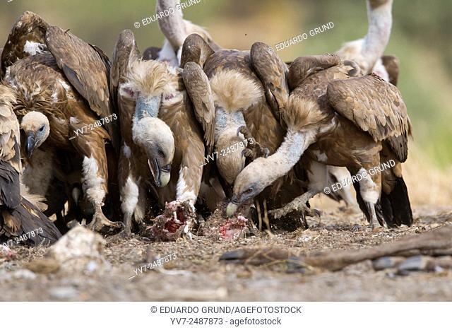 Griffon Vulture (Gyps fulvus). Sierra Morena, Cordoba, Andalusia, Spain, Europe