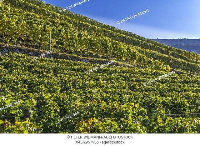 Vineyards at the monastery Neustift near Brixen, South Tyrol, Italy, Europe