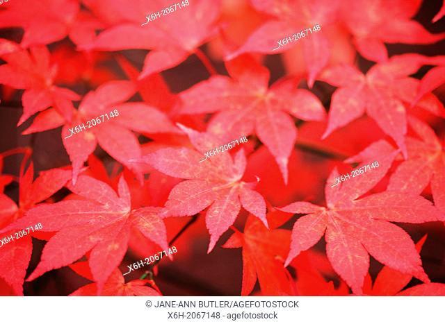 red autumn maples