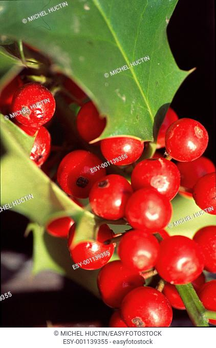 Illex aquifolium holly or evergreen shrub of the family Aquifoliaceae, mostly used as decoration during the Christmas&39, re f $