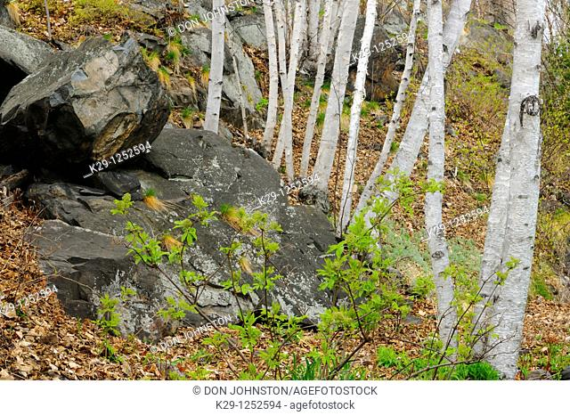 White birch tree trunks and rock outcrops. Ontario. Canada