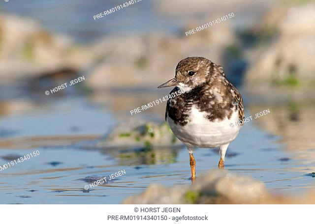 Ruddy Turnstone in low water, Arenaria interpres, Germany, Europe / Steinwälzer im seichten Wasser, Arenaria interpres, Deutschland, Europa