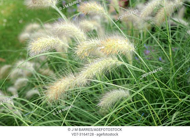 Feathertop grass (Pennisetum villosum) is a perennial herb native to eas Africa and Arabian Peninsula. This photo was taken in Lalibela, Ethiopia