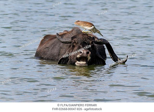 Indian Pond-heron (Ardeola grayii) adult, non-breeding plumage, catching flies on Domestic Water Buffalo (Bubalis bubalis) head in water, Yala N.P