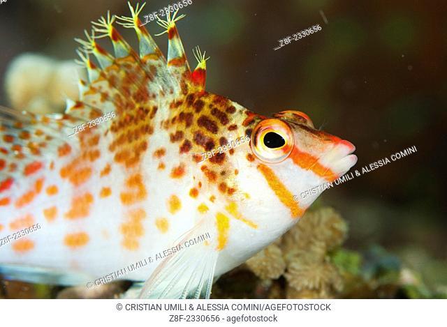 Dwarf hawkfish - Cirrhitichthys falco - Moalboal - Cebu - Philippines