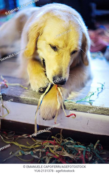 Golden retriever dog who has in his mouth streamers