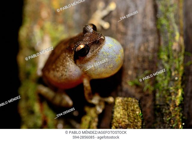 Amboli Bush Frog (Pseudophilautus amboli) singing in Cotigao sanctuary, Goa, India