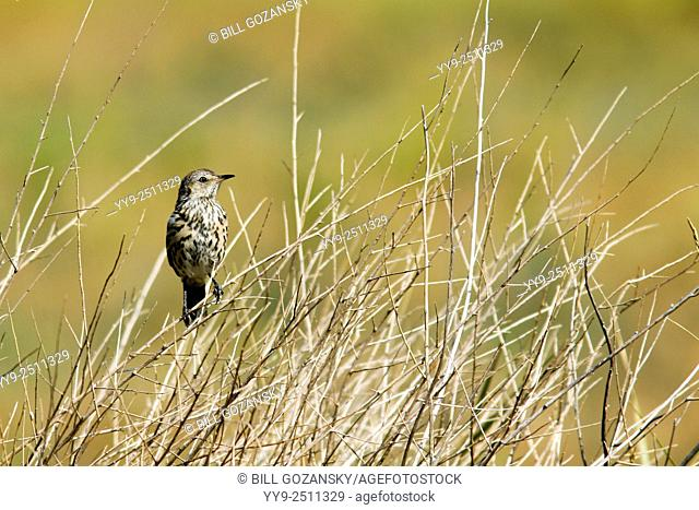 Sage Thrasher - Rocky Mountain Arsenal National Wildlife Refuge - Denver, Colorado, USA