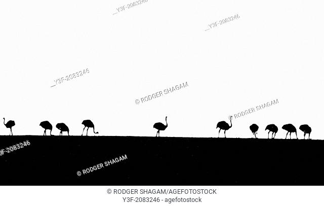 Black and white. Ostriches on the horizon. Top of the hill. Western Cape Province, South Africa