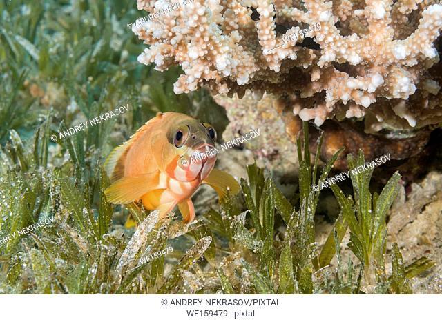 Blacktip Grouper (Epinephelus fasciatus) lies on the sea grass under coral