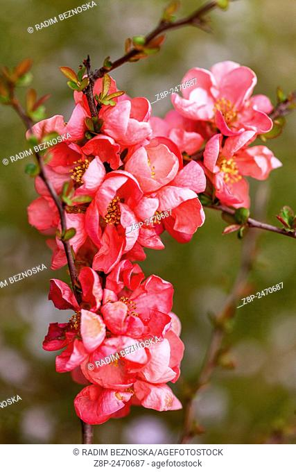 Flowering quince Chaenomeles in a garden