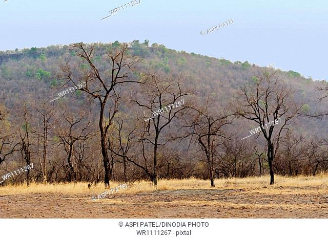 Saja tree at panna national park madhya pradesh India