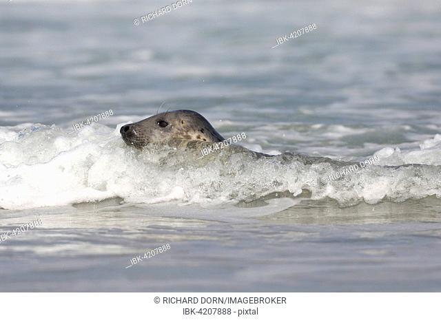 Grey seal (Halichoerus grypus) swimming, Heligoland, Schleswig-Holstein, Germany