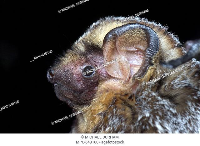 Hoary Bat Lasiurus cinereus, portrait, northern Oregon