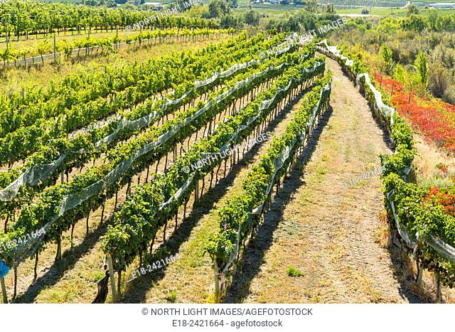 Canada, BC, Oliver in the Okanagan Valley. Rows of grape vines in the 'Golden Mile', famed wine producing region