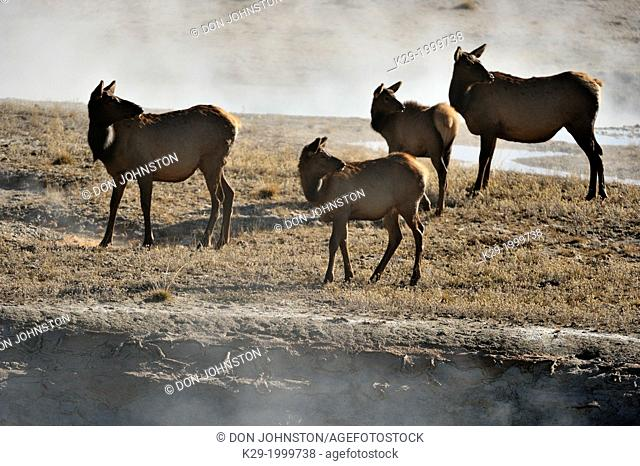 Elk (Cervus elaphus) Females and calves in the West Thumb geyser basin, Yellowstone NP, Wyoming, USA