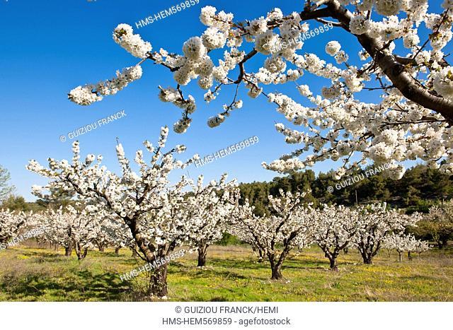 France, Vaucluse, Parc Naturel Regional du Luberon Natural Regional Park of Luberon, cherry blossom