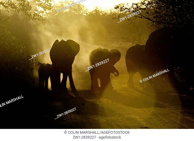 Elephants (Loxodonta africana) silhouetted on dusty dirt road at dusk, Kruger National Park, Transvaal, South Africa
