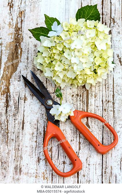 Hydrangea blossom and scissor on a weathered wooden board