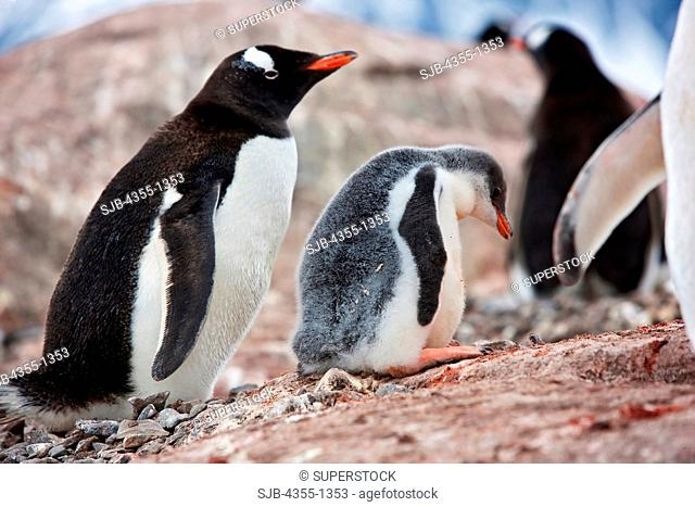Gentoo Penguin and Her Chick