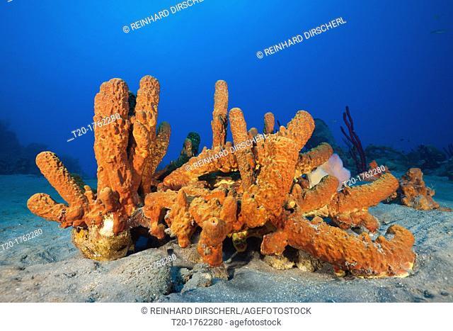 Tube Sponges in Coral Reef, Aplysina fistularis, Caribbean Sea, Dominica