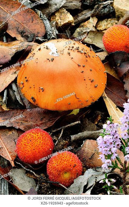 Caesar's Mushroom in a wood, oronja, reig, amanita caesarea, Edible mushroom, Costa Brava, Girona, Spain, Europe